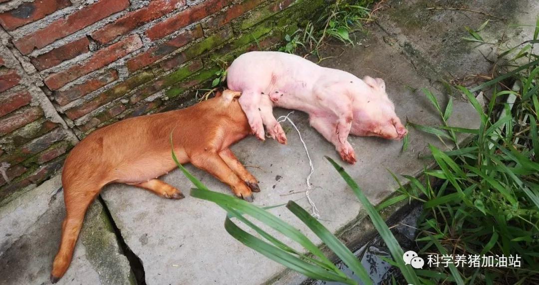 后非瘟时代|猪肺疫+附红细胞体,中国养猪产业的二次灾难!