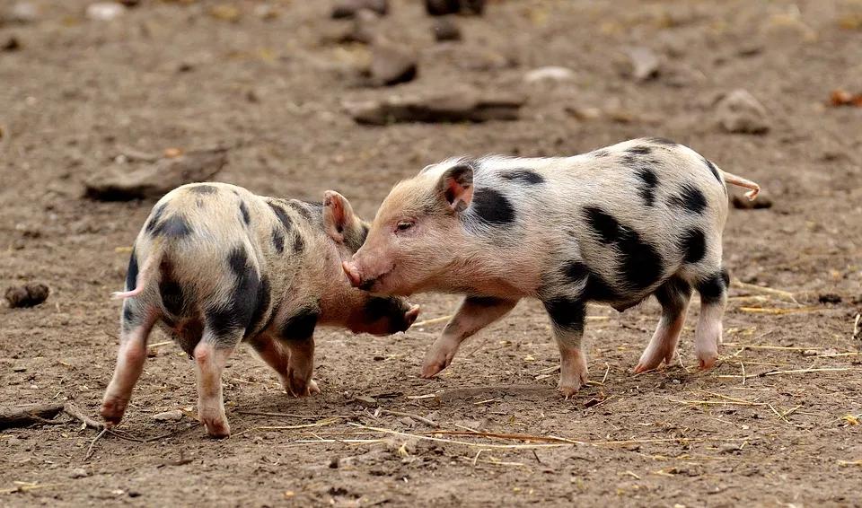 为何猪只咬尾频繁发生在冬季?该如何处理!