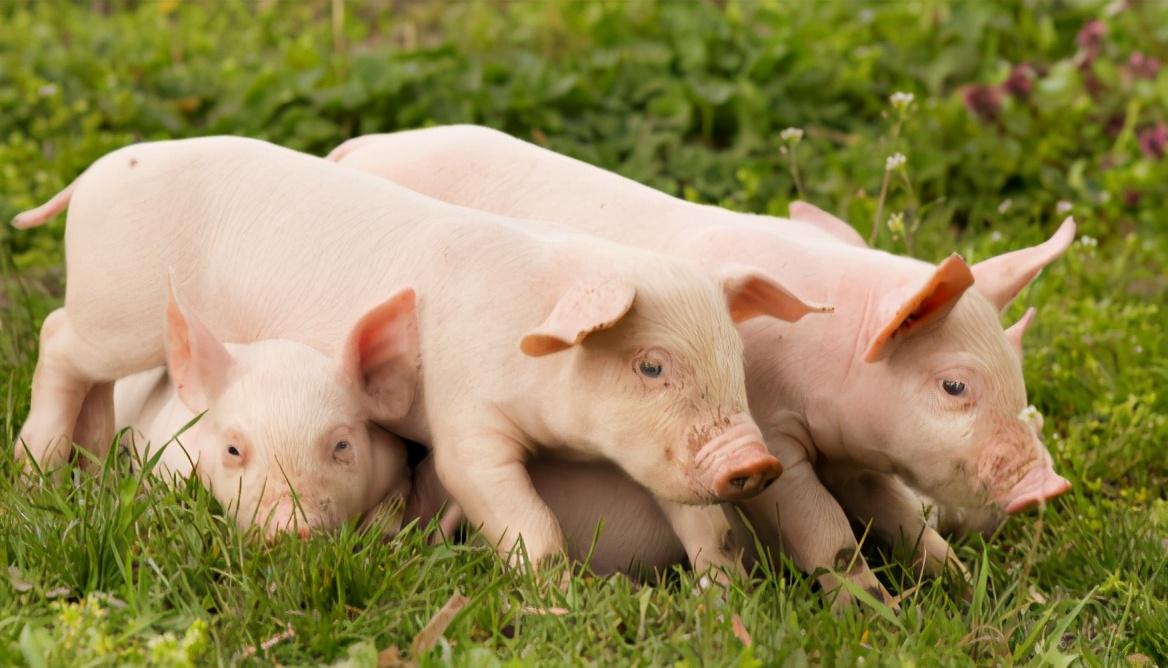 1月6日10公斤仔猪价格,仔猪连涨5周,上涨关键在三元母猪?