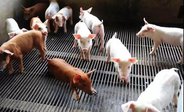 猪出现中毒,不知道该怎么办?5个方法帮你解决!