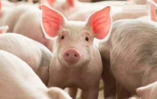 湖北:生猪复产成效好于预期 春节猪肉供应同比有望增三成