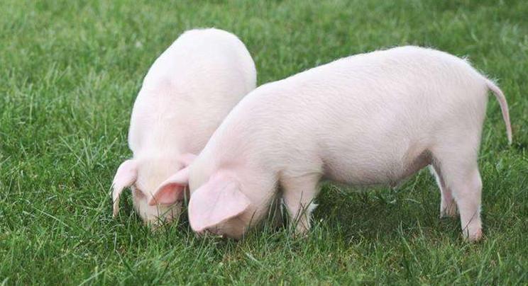 2021年01月07日全国各省市15公斤仔猪价格行情报价,接下来仔猪可能会跟跌生猪?