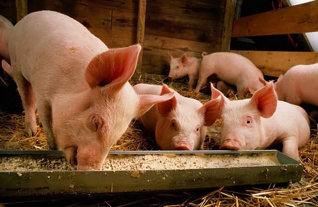 """""""金猪""""时代,降本增效是关键!做好这几点,提高你的猪场产能"""