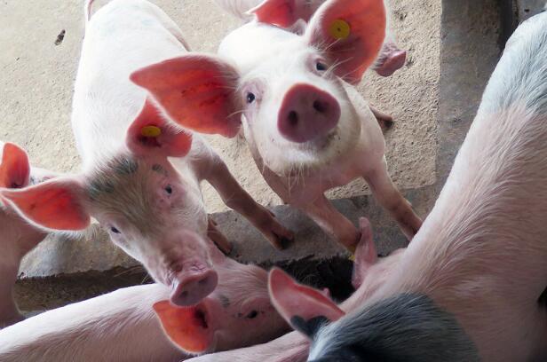 """海南:生猪""""保险+期货""""项目首单落地 屯昌养殖户获赔96万元"""