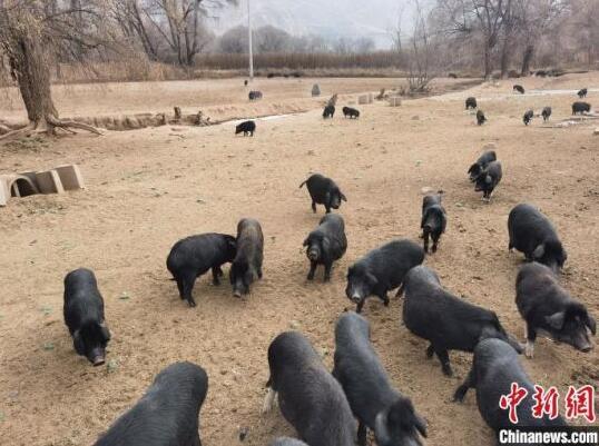 青海贵德:藏香猪引出致富路 乡村游带来好生活