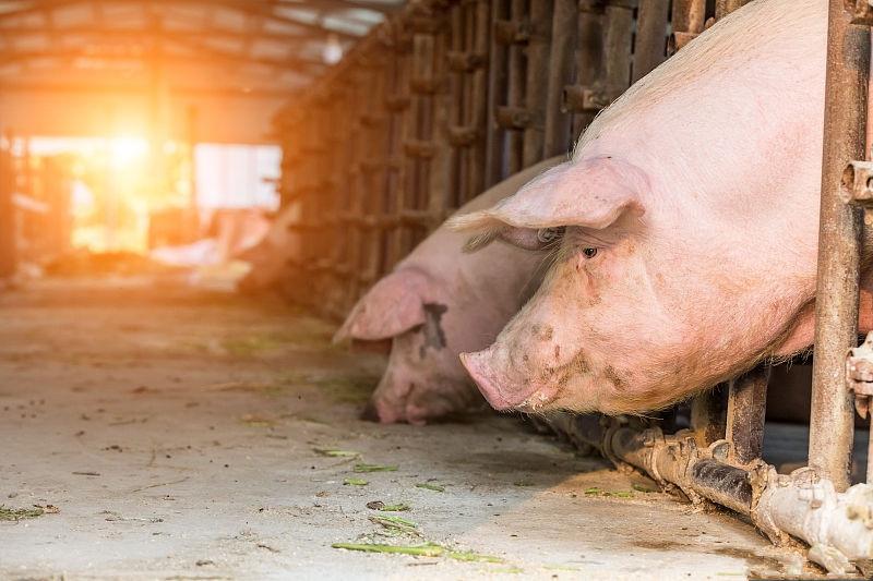 猪鼻炎、猪脓肿、猪消化不良等,可以用食盐来治疗!