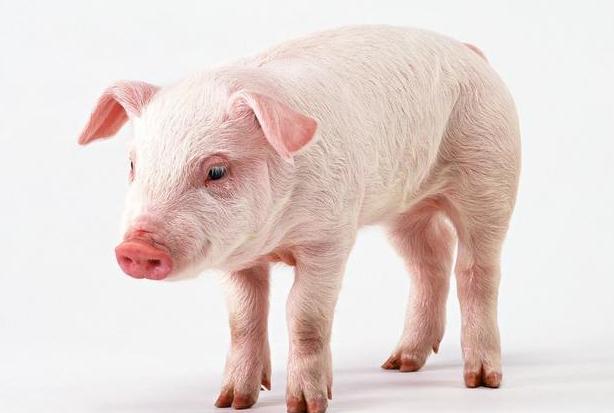 2021年01月08日全国各省市15公斤仔猪价格行情报价,从800元/头涨回到1000元/头,该补栏还是观望?