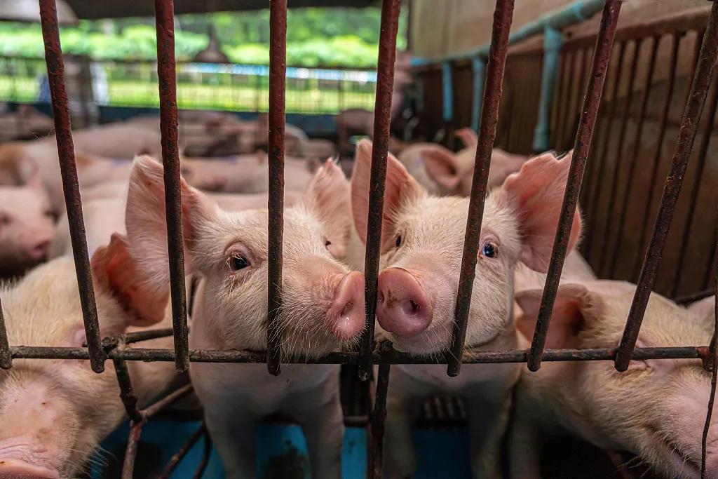台当局宣布开放进口使用瘦肉精的美国猪肉