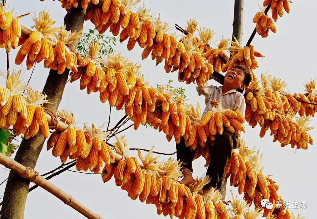 玉米已突破1.45高位,是否还会上涨?需要提前备货吗?