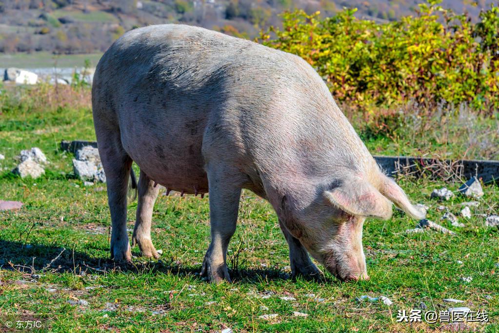有关母猪更详细的管理知识,养猪人应该知道!