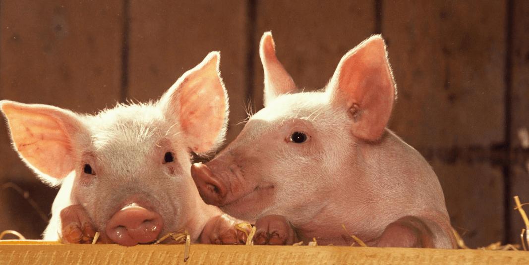 2021年01月10日全国各省市20公斤仔猪价格行情报价,辽宁省仔猪均价为2200元/头!