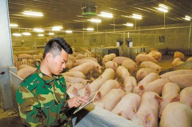 """广东潮南:智能农场养出""""生态猪""""带动农户增收"""