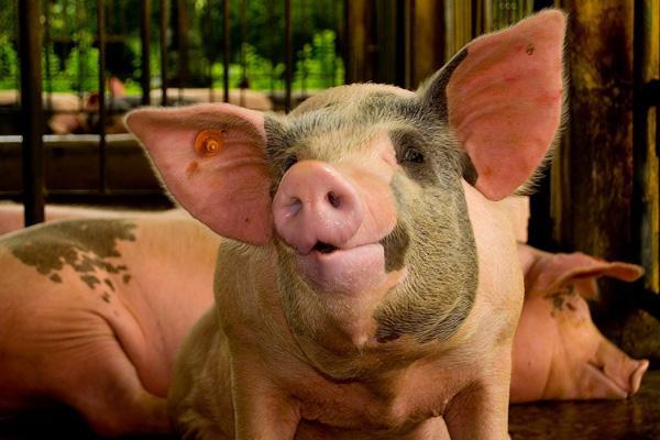 什么样的母猪才是好母猪,走出传统认识误区!