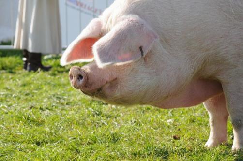 30530头!种猪进口创新十年新高,国内生猪产能向好发展