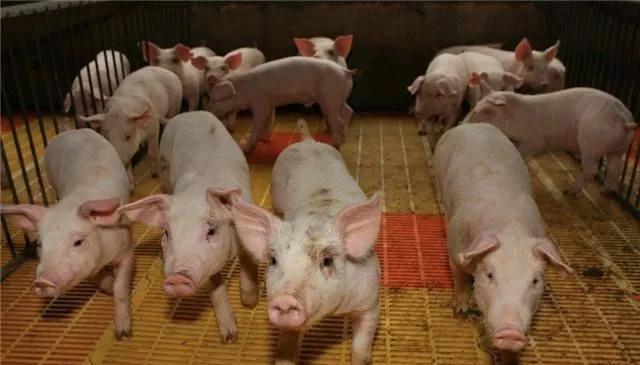 国务院专家要求禁止农村散养猪