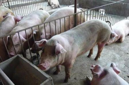 猪友观点:春节临近,大猪是该压栏,还是现在卖了好?