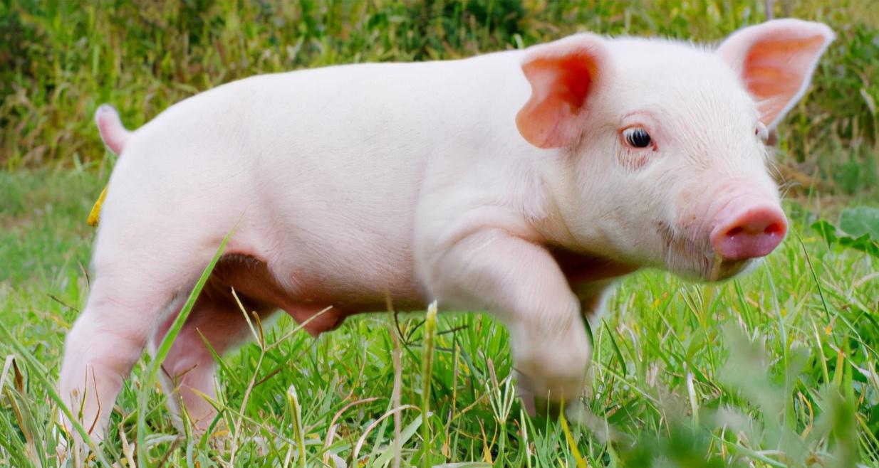 1月12日15公斤仔猪价格,仔猪高位运行,未来三年养猪仍处盈利期
