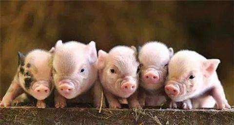 商务部研究员:猪周期走向景气转折点 养猪利润可能急剧压缩