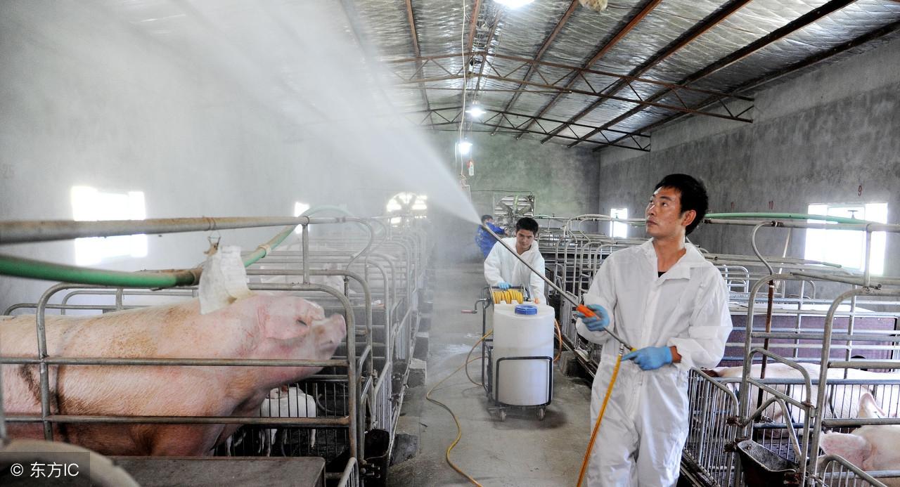 科普丨非洲猪瘟发现近百年,为何至今无疫苗问世