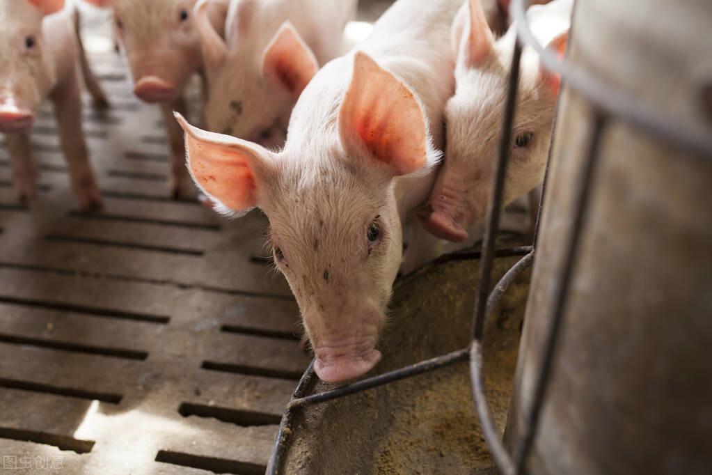 浅析生物发酵饲料饲喂仔猪的效果
