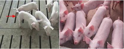 分享仔猪有效管理该怎么做?希望对大家有所帮助!