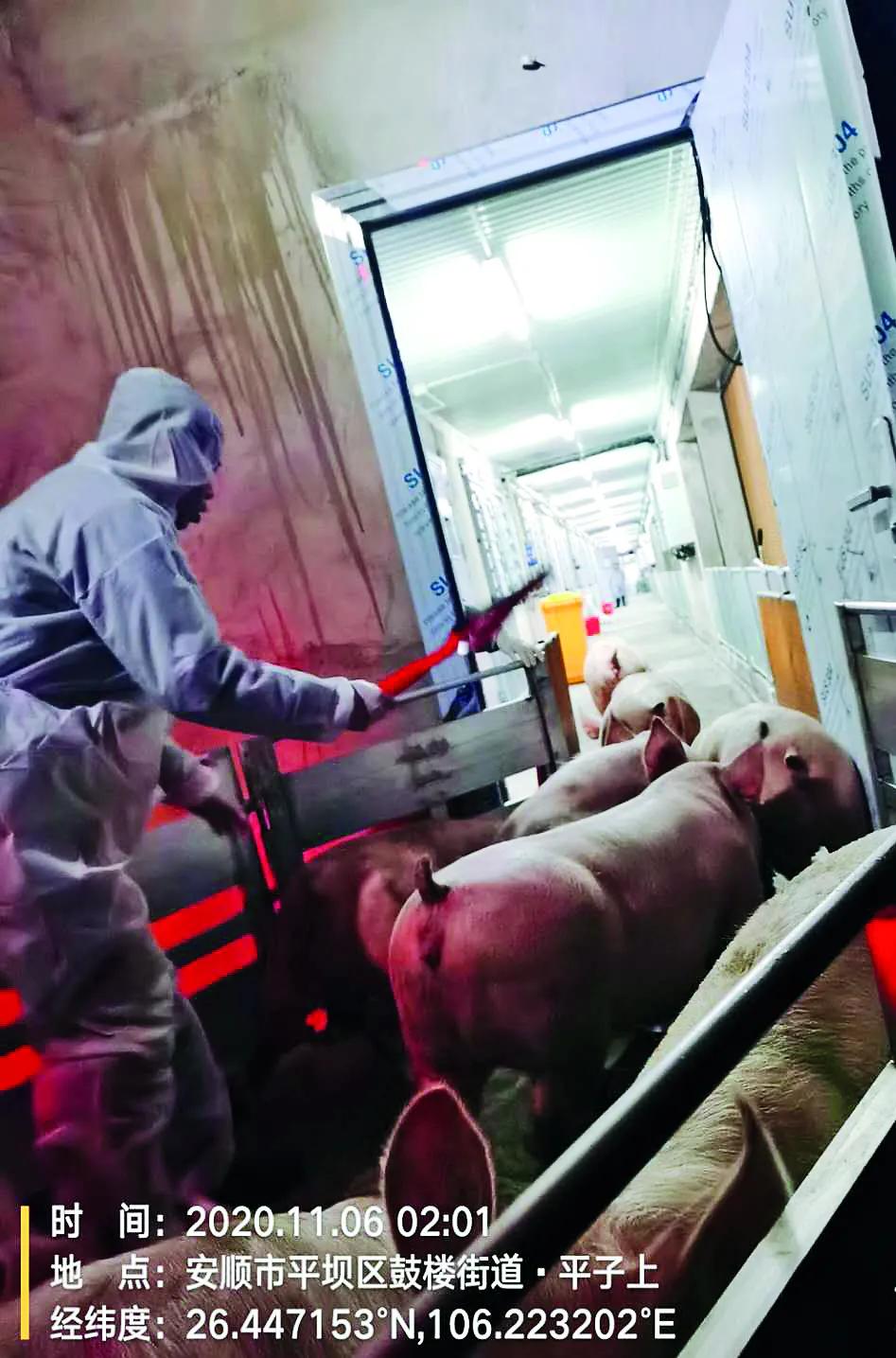 天南地北德康猪增产保供