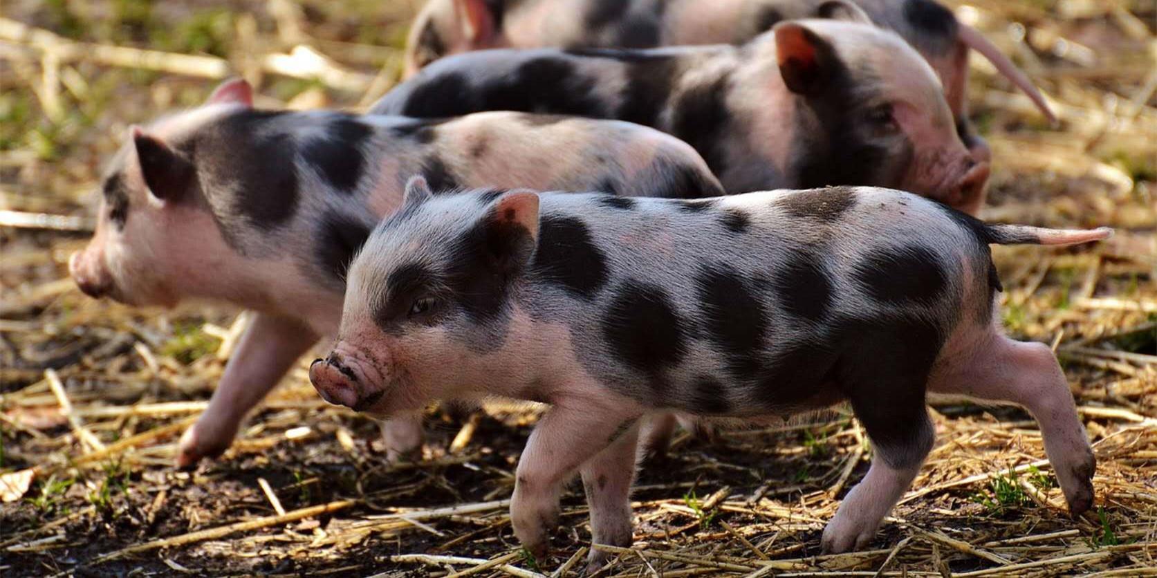 1月14日10公斤仔猪价格,饲料涨价折腾个不停,仔猪还能涨?