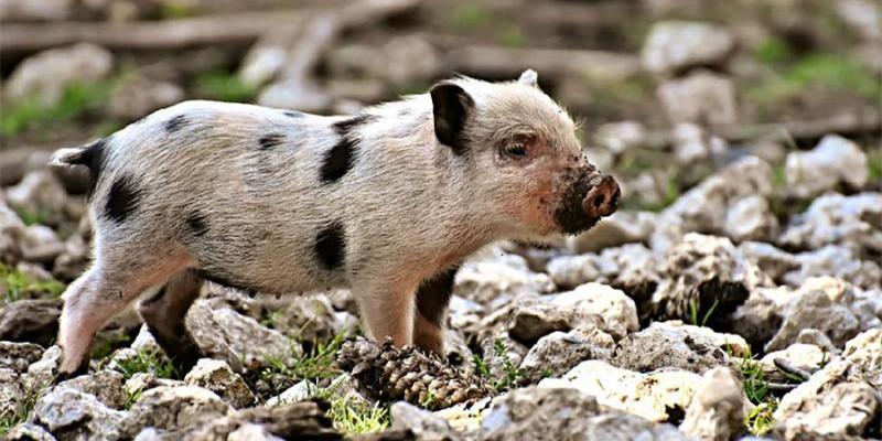 """从""""肠""""计议,提前防控很关键,告别猪群腹泻难题!"""