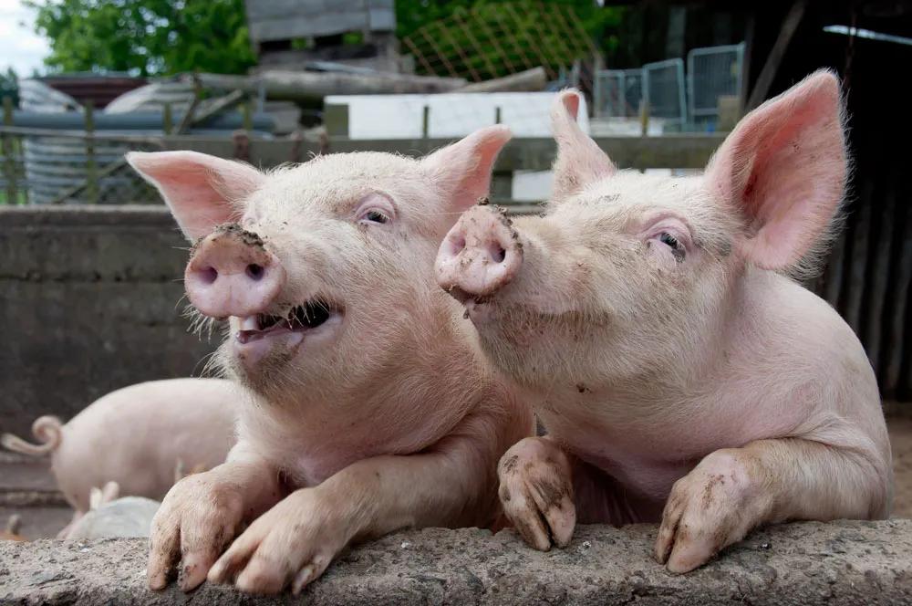 """1月16日生猪价格:年底猪价""""阴晴不定"""",养殖户卖猪一定要趁早!"""