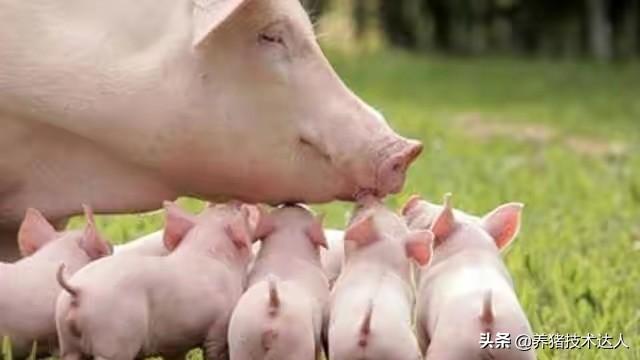 新手养猪不知道怎么入门?学会这些,你也会成为养猪高手!