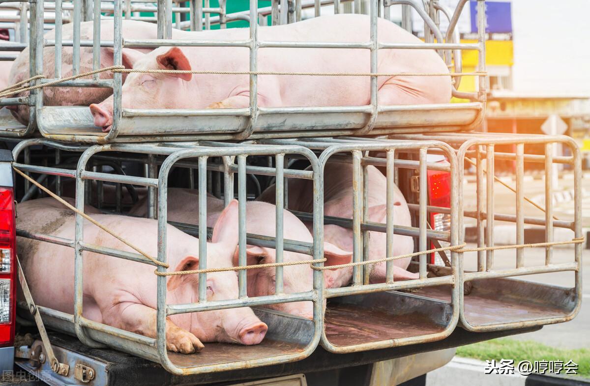 中国非瘟现状及应对措施,国际养猪博士分享了6点思考