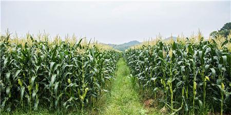 1月18日全国玉米价格行情,山东企业玉米又上涨了,年前玉米这是跌不下来?