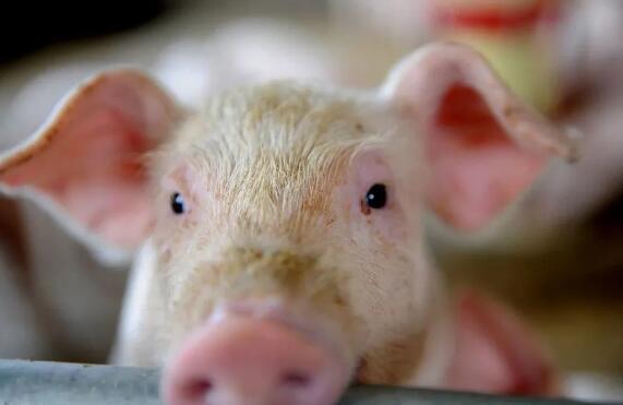 农业农村部:从6个方面提升生猪种业创新能力