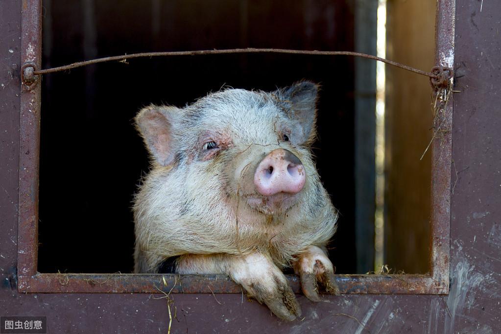 母猪各阶段饲料营养配方!不同时期的母猪饲料怎么进行搭配?