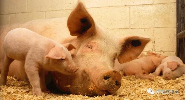 你知道吗?艾草也能治猪病,可以帮助你节省很多钱!
