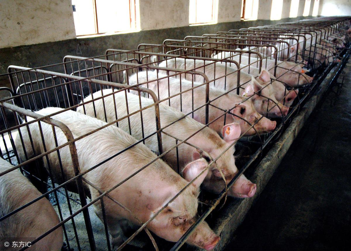 仔猪大,母猪难产;仔猪小,成活率低,仔猪初生重控制在多少合适