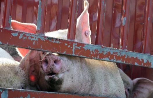 目标!山东2021年确保实现5000万吨粮食和5000万头生猪产能!