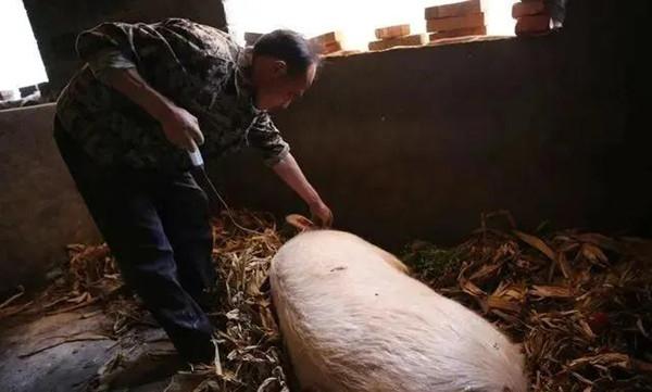 养猪基础:这几种猪场常用注射法要学会!