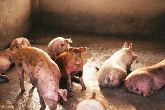 咱的猪低温了,别慌,这里教你及时回升温度的办法,应对各个不同的低温问题