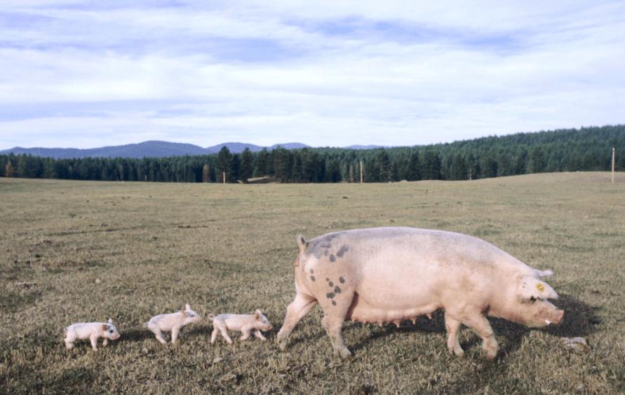 母猪如何排毒?母猪脊背,脸颊脏,有泪斑如何调理?