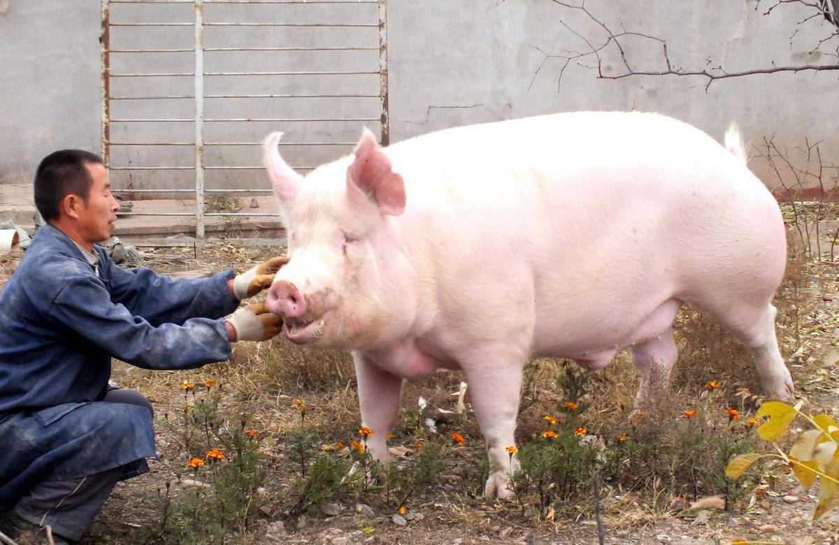 """教授网上卖种猪/猪精背后——打通生猪种业的""""最先一公里"""""""