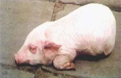 停食、开泄、脱敏、抗菌——四管齐下,治疗仔猪水肿病效果