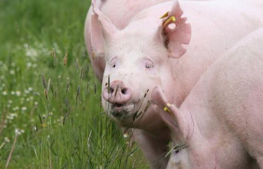美国生猪产业面临收缩!2020年美国生猪存栏量仅为7750万头,回落的原因何在?