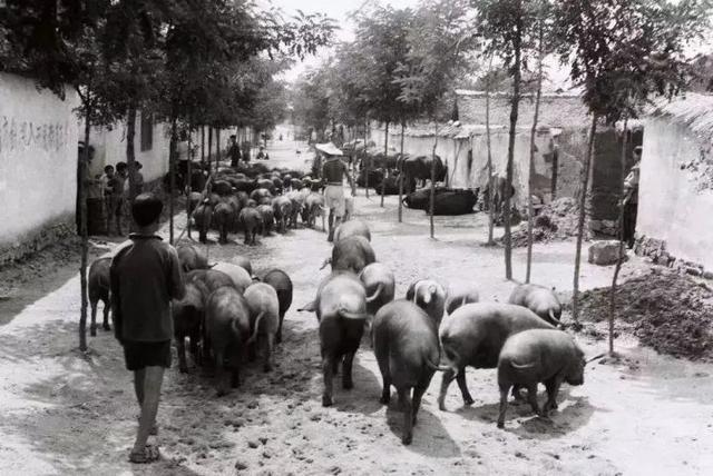 猪八戒是黑猪还是白猪?一次我国养猪史上的史诗级偷梁换柱!