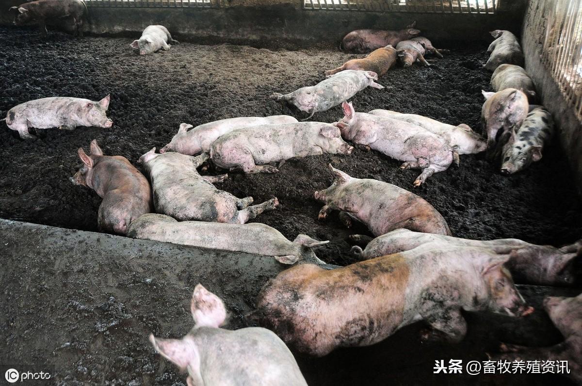 农村猪圈改造方案,建设原则!最全猪舍的合理设计标准都在这