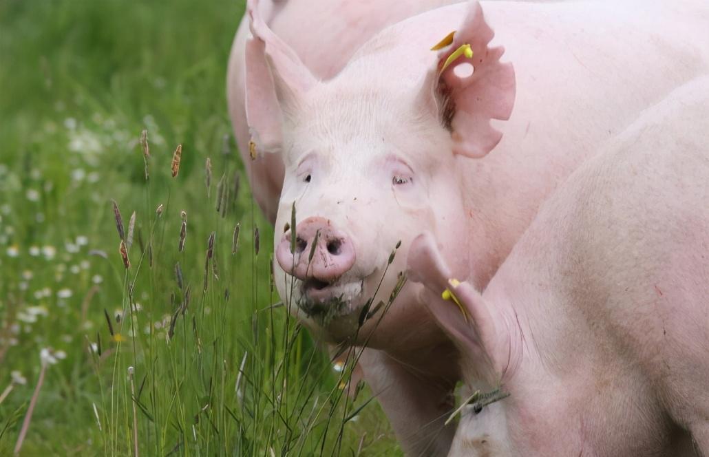 生猪出栏量