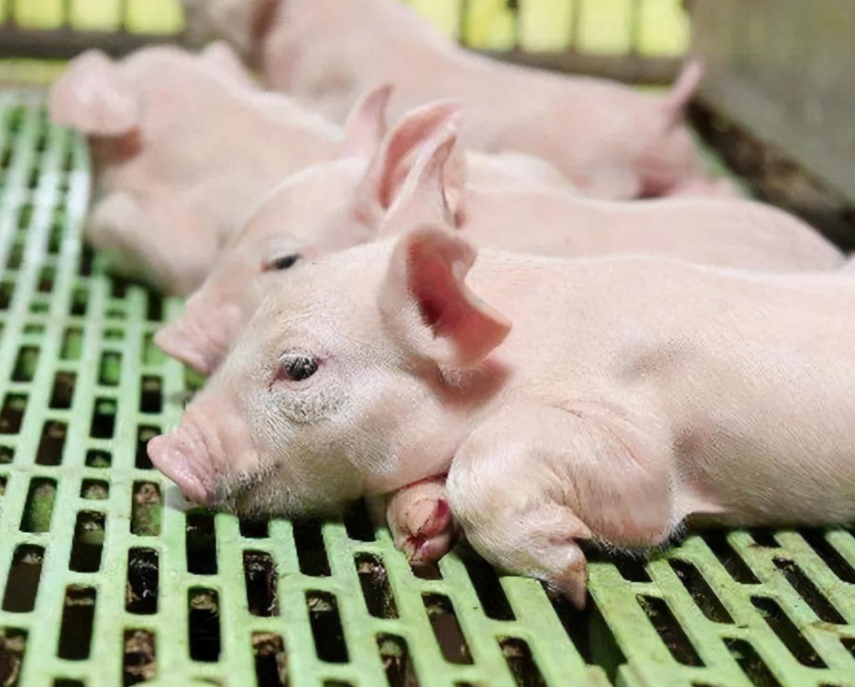 仔猪腹泻拉稀的最佳治疗方法:仔猪腹泻拉稀怎么办?