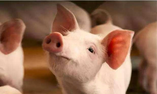 """冬季养猪""""难上加难"""",注意以下几个事项,让猪安全过冬!"""