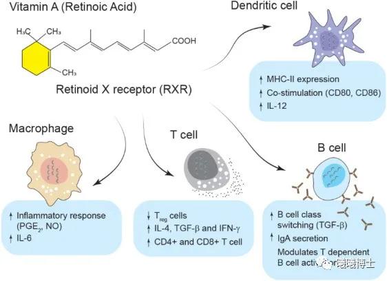 维生素A在免疫系统中的作用(引自 Shojadoost et al., 2021)