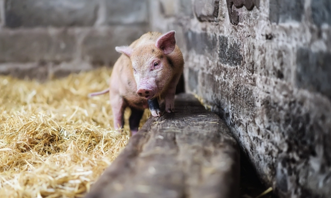 1月21日20公斤仔猪价格,仔猪连涨7周,养殖户高价卖仔猪?